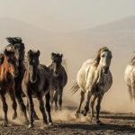 Doğadaki Yılkı Atları