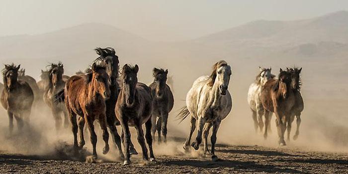 Doğadaki Yabani Atlar